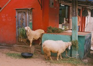 rachaelspink_sheep